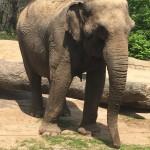 An Asian Elephant